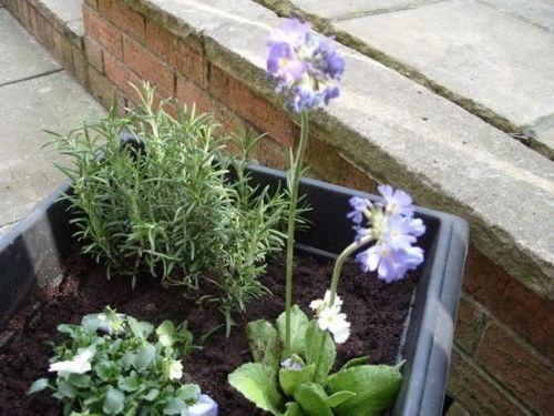 Violetrosemaryplanter